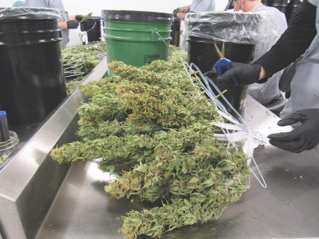 Marijuana in a marijuana facility