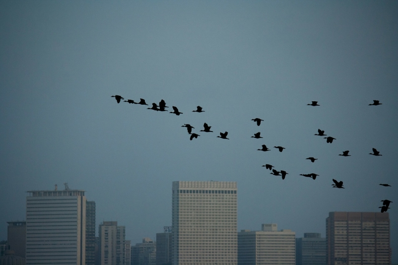 Chicago suburb considers bird collision deterrent requirement on all new buildings